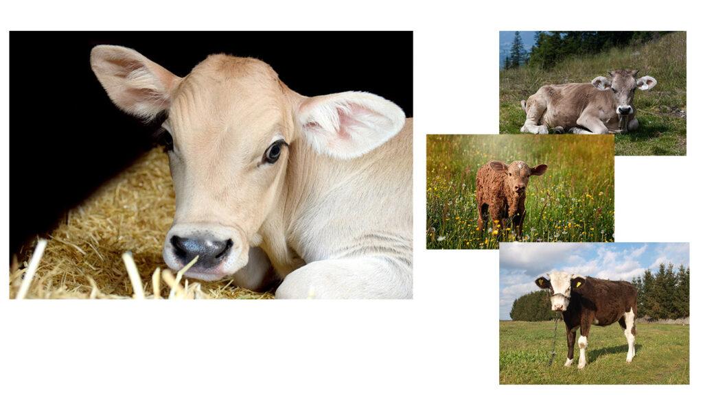 牛の図 4つ程タイプ別の名前付きの牛